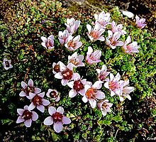 Saxifrage by Loree McComb