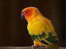 Sun Conure Parrot by Sandy Keeton