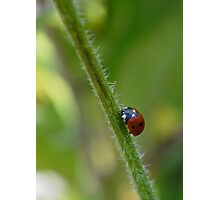 Ladybird on a stem Photographic Print