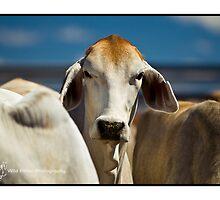 Brahman Cow - Kimberley WA by wildfillies