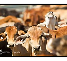Brahman Cattle - Kimberley WA by wildfillies