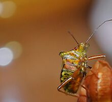 Shield Bug by relayer51