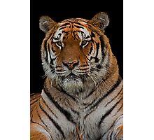 Amur Tiger Portrait Photographic Print