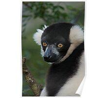 Lemur Portrait Poster