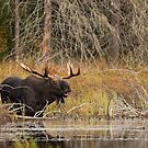 Smiling Moose, Algonquin park by Jim Cumming