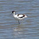 Avocet by wendycoops224