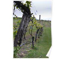 Vineyard near Lake Chelan Poster