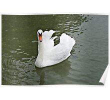 Swan, swan, swan. Poster