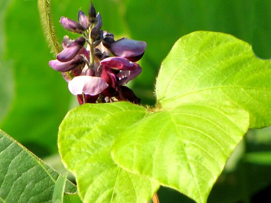 Kudzu - Foot-A-Night Vine Bloom by Jean Gregory  Evans