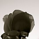 Translucent Rose (black&white) by Lou Wilson