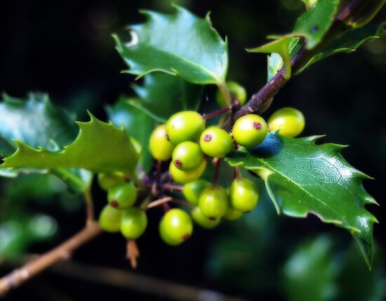 Green Holly Berries by Linda  Makiej