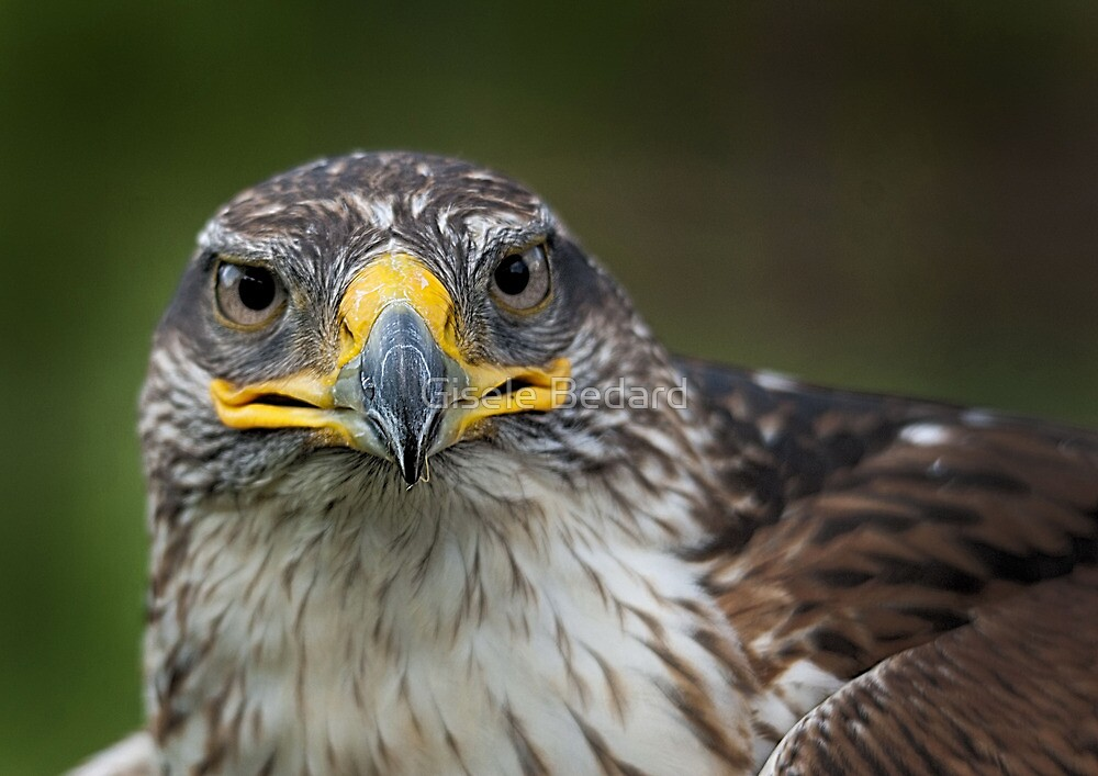 Hawk by Gisele Bedard