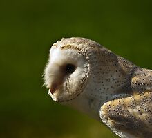 Common Barn Owl by Gisele Bedard
