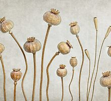 Poppy pods by Mandy Disher