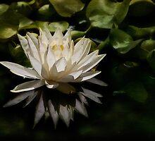 Glowing ivory waterlily by Celeste Mookherjee