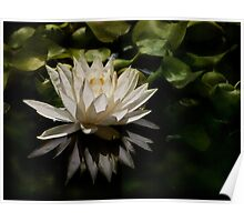 Glowing ivory waterlily Poster