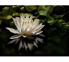 Glowing ivory waterlily Photographic Print