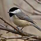 black-capped chickadee A by leftysphotos