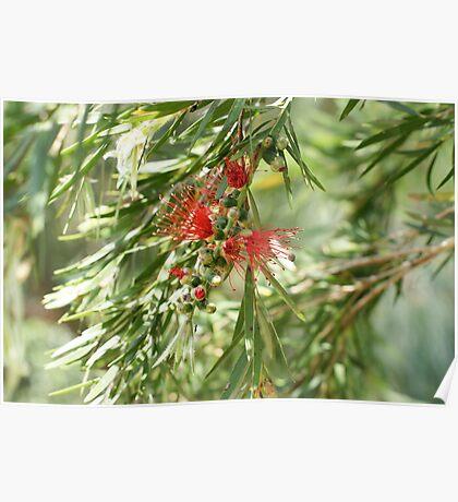 Red Bottlebrush emerging Poster