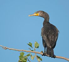 Double-crested Cormorant by (Tallow) Dave  Van de Laar