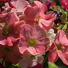 Salmon coloured flowers Leith Park Victoria 201509240402   by Fred Mitchell