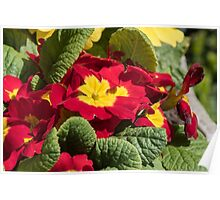 Red flowers yellow centres polyanthus or primulas Leith Park Victoria 20150924 0404   Poster