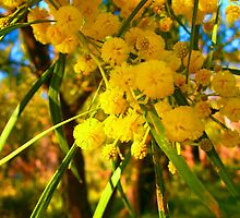 Vibrant Wattle Blooms by daisyriding