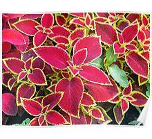 Red Coleus plant closeup Poster