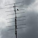 Bird on Aerial by Joan Wild