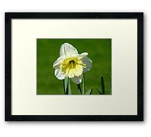 Vanilla And Cream!! - White Daffodil - NZ Framed Print