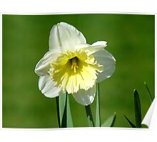 Vanilla And Cream!! - White Daffodil - NZ Poster