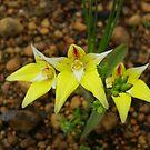 cowslip orchid by BigAndRed