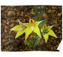 cowslip orchid Poster