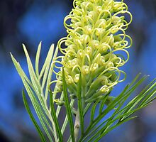 ~ Grevillea ~ by Donna Keevers Driver