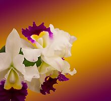 Cattleya Alliance, Orglades Grand Ya Chang Beauty by Deborah McLain