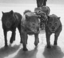 Huskies pulling sledge Sticker