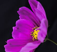 Purple Cosmos by JEZ22