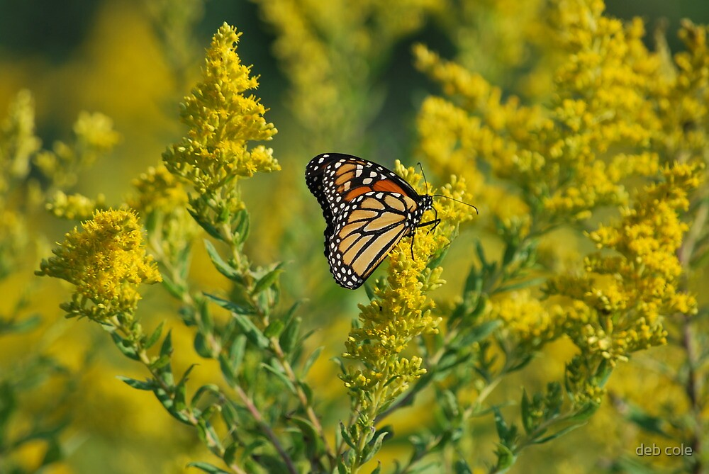 Monarch of Goldenrod by deb cole
