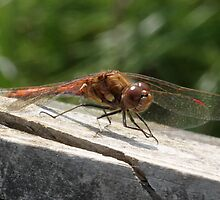 Common Darter by dilouise