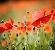 Dancing Poppies by Jacky Parker