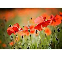 Dancing Poppies Photographic Print