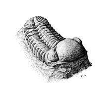 Phacops Trilobite by NearBird