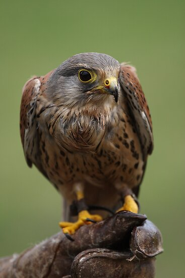 Male Kestrel by Nick Barker