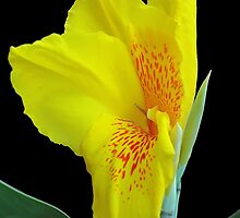Wild Canna Lily Bloom by Glenn Cecero