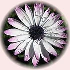 Raindrops on Cape Daisy - Vignette by Kathryn Jones