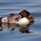 Tufted Duck by Margaret S Sweeny
