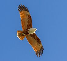 Brahminy Kite at Tangalooma by Teale Britstra