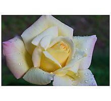 Yellow Rose Photographic Print
