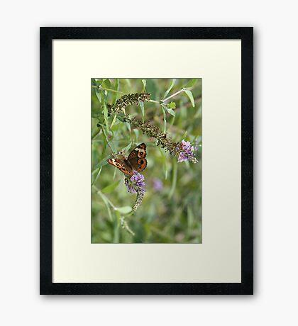 Butterfly Season - Common Buckeye Framed Print