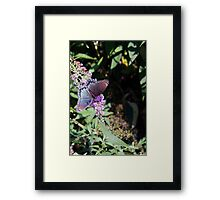 Butterfly Season - Red-spotted Purple 2 Framed Print